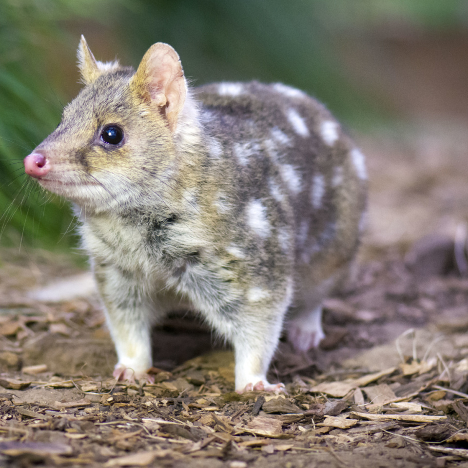Bonorong Easternquoll