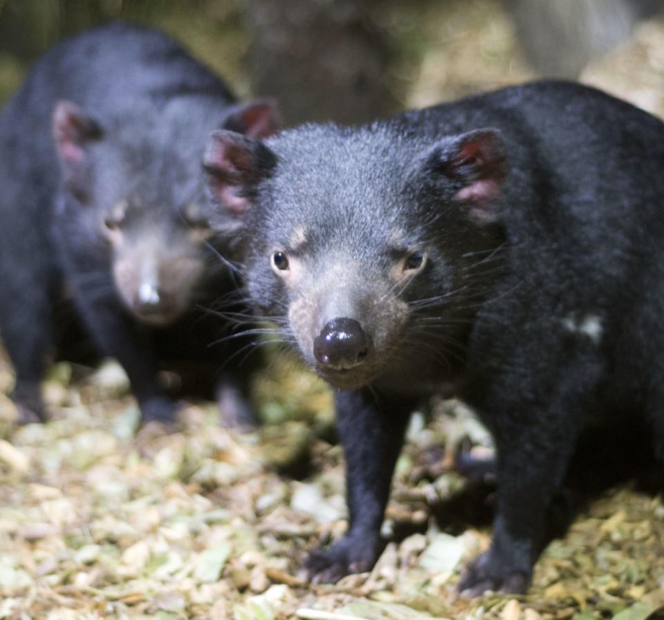 Bonorong Tasmaniandevils