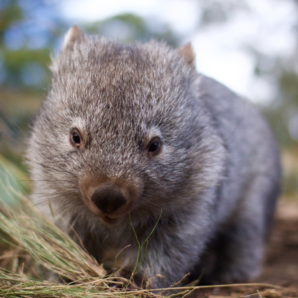 Bonorong Youngwombat 180924 015413