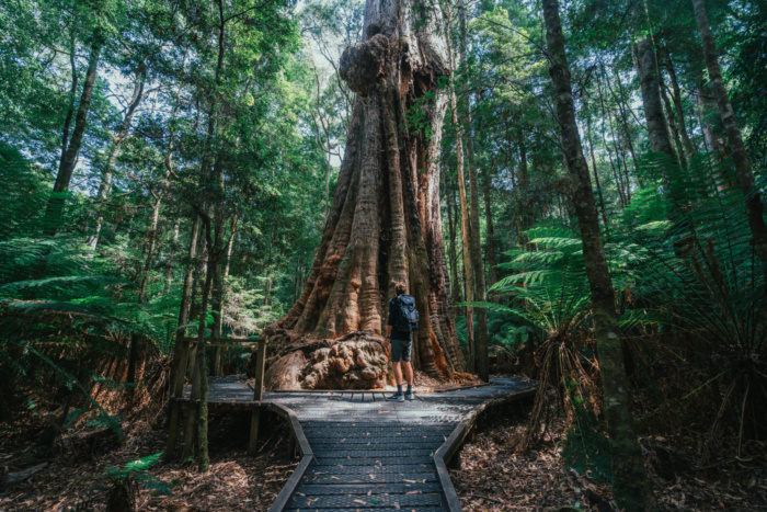 Big Tree, Dip River Forest Reserve, Tourism Tasmania and Jason Charles Hill